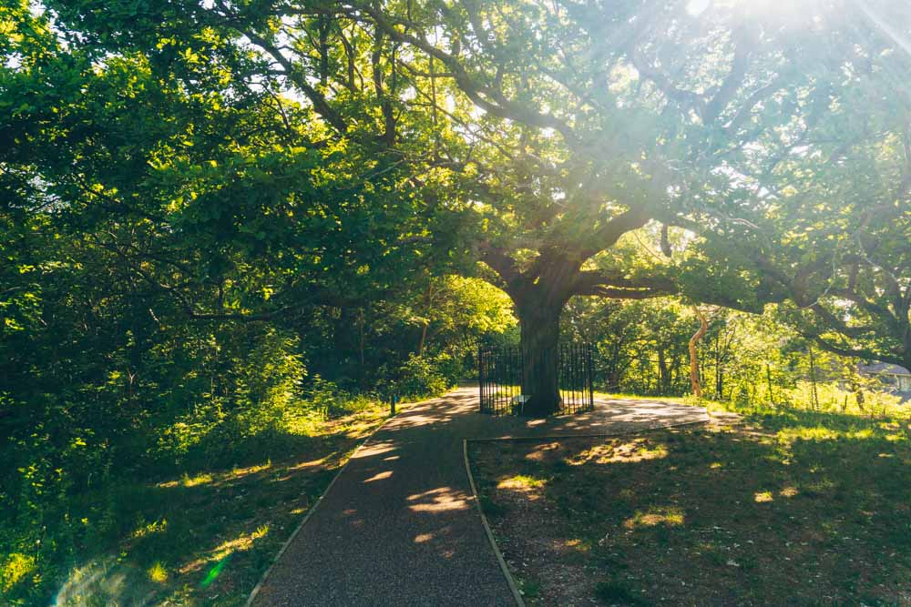The Oak of Honor