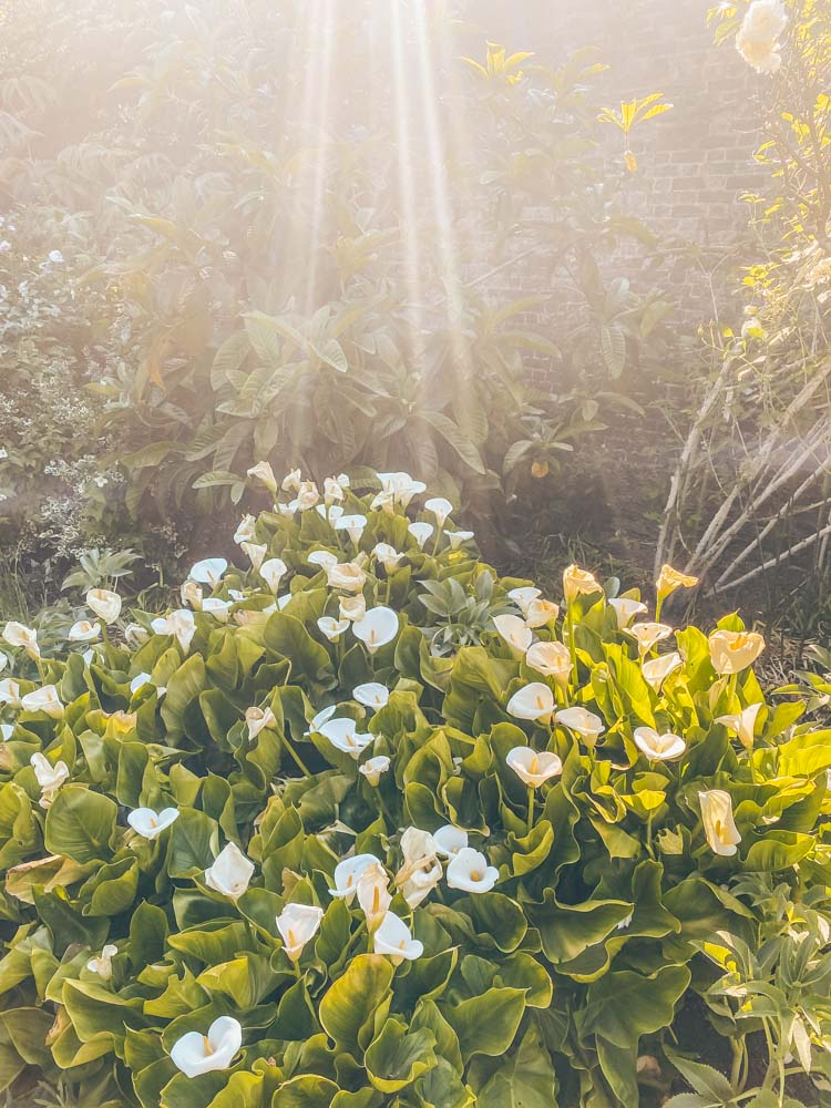 Light on the calla lillies in the white garden
