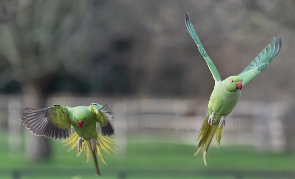 Parakeets in flight
