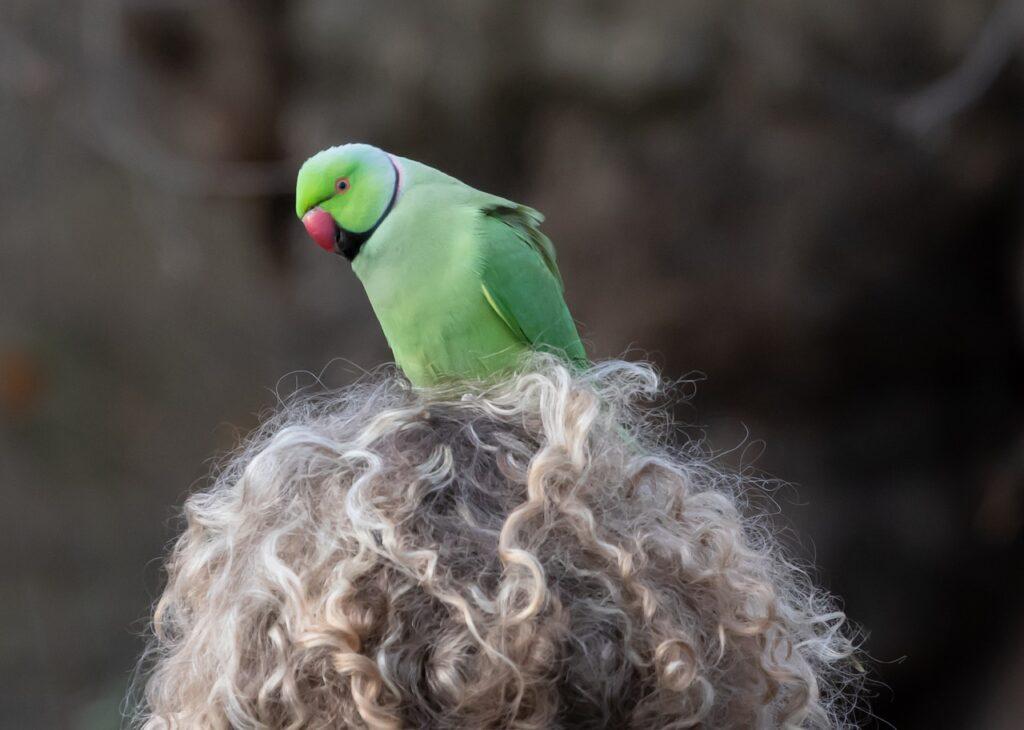 Parakeet sitting on a head