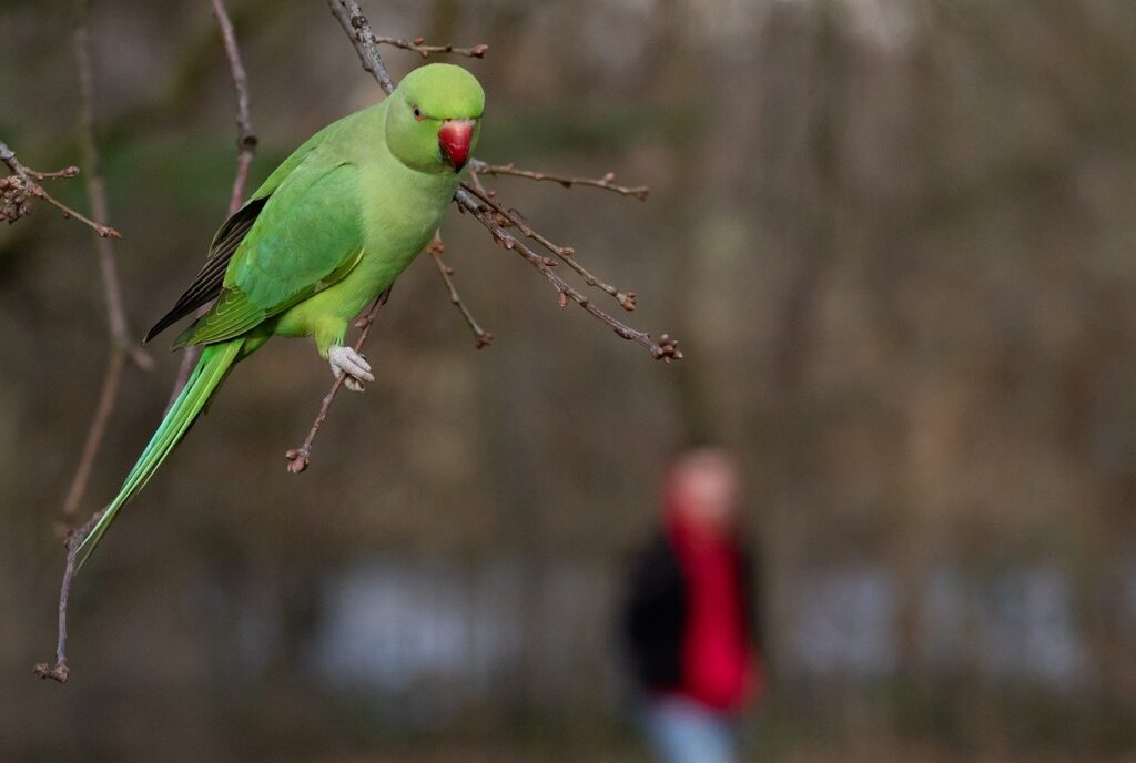 Ring Necked Parakeet in London