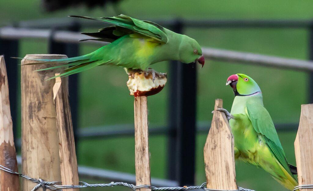 Squawking parakeet