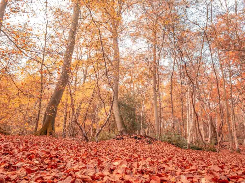The Beech Trail in Autumn