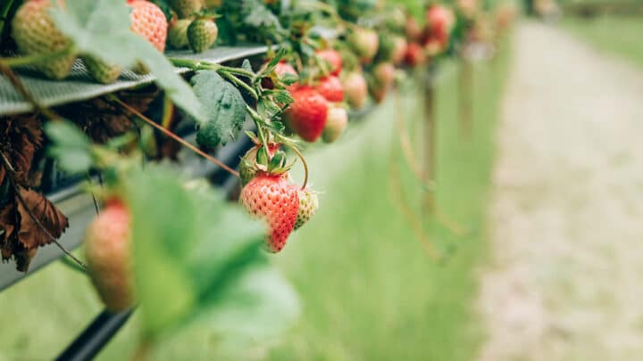 The Best Farms for Fruit Picking in London