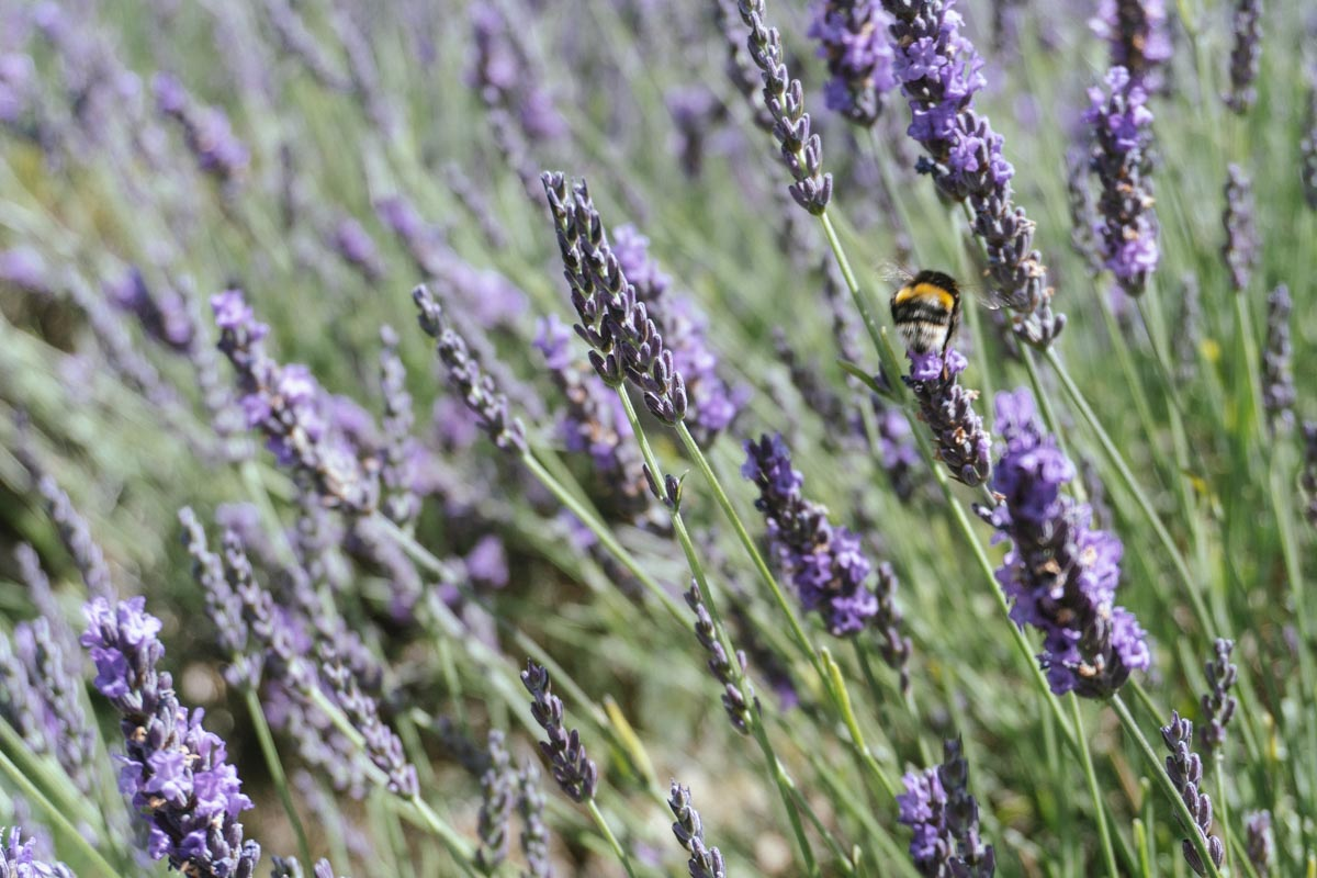 Mayfield Lavender Bee