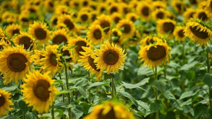 Sunny Delight! The Best Sunflower Fields in London
